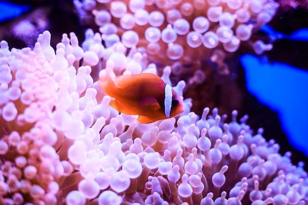 L'amphiprion (poisson-clown occidental (poisson-clown ocellaris, poisson-clown faux percula)) est en anémone. thaïlande. Photo Premium