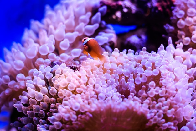 L'amphiprion (poisson-clown occidental (poisson-clown ocellaris, poisson-clown faux percula)) est en anémone. thaïlande. Photo Premium