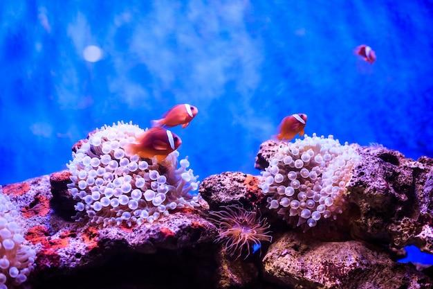 Amphiprion poisson-clown occidental Photo Premium