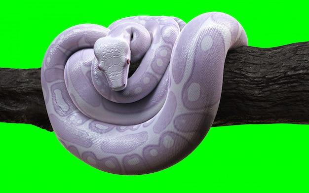 Anaconda De Boa Constrictor Albino Avec Un Tracé De Détourage. Photo Premium