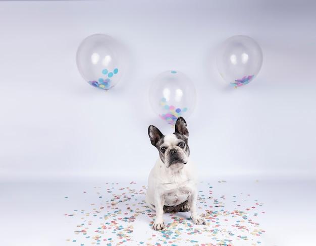 Ancien bouledogue français fête son anniversaire avec des ballons et des confettis sur w Photo Premium