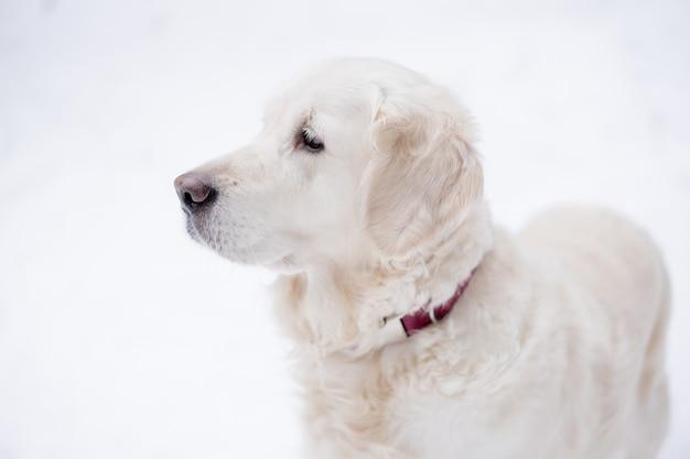 Animaux dans la nature. portrait d'un chien de beauté. un beau golden retriever reste dans une forêt enneigée en hiver. Photo Premium