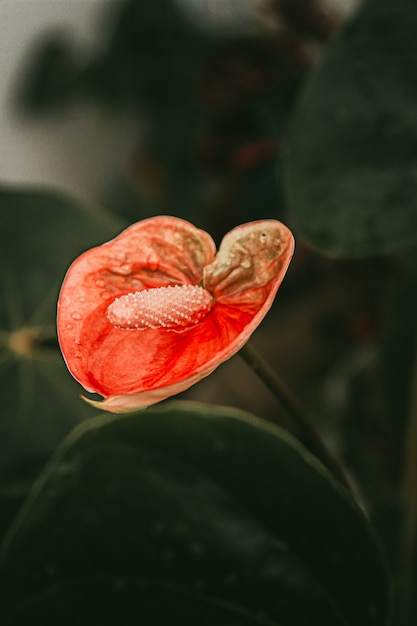 Anthurium plante à fleurs rouges Photo gratuit