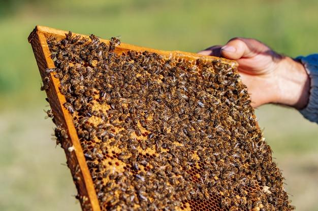 L'apiculteur tient une cellule de miel avec des abeilles dans ses mains. apiculture. rucher Photo Premium