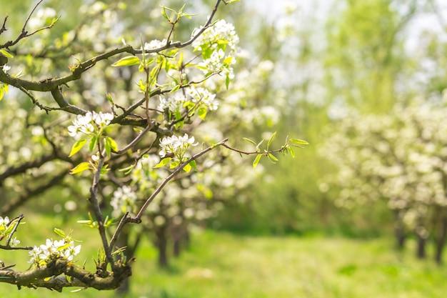 Apple garden avec des arbres en fleurs Photo Premium