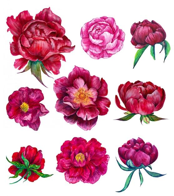 Aquarelle ensemble floral de pivoines Photo Premium