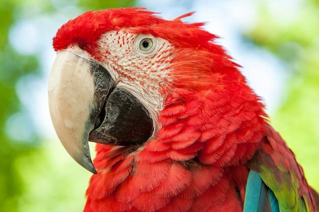 Ara perroquet rouge Photo Premium