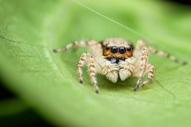 Araignée sauteuse sur feuille verte Photo Premium