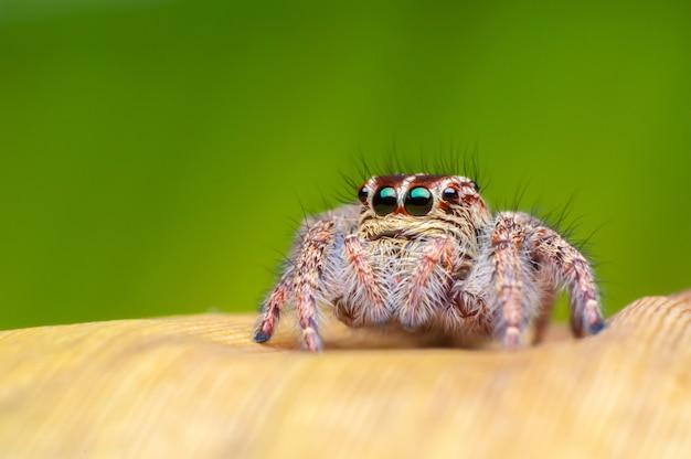 Araignée sauteuse Photo gratuit