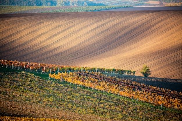 Un arbre d'automne solitaire des champs moraves et des lignes de vignes d'automne. Photo Premium