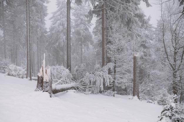 Arbre brisé dans la forêt, hiver et neige Photo Premium