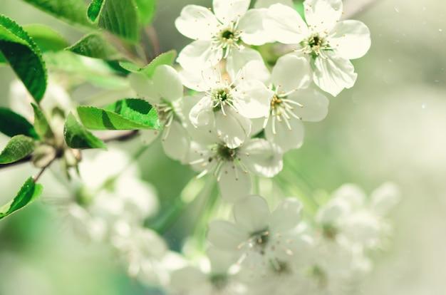 Arbre de fleur, fond nature printemps. journée ensoleillée. pâques et concept en fleurs. Photo Premium