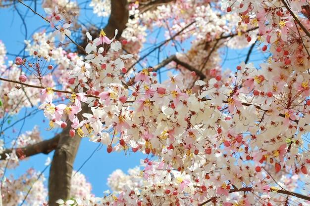Arbre à fleurs blanches roses en thaïlande Photo Premium