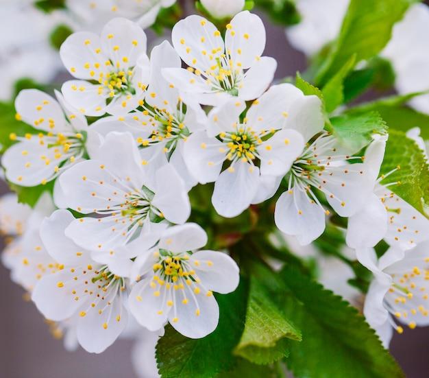 Arbre fruitier en fleurs dans le jardin. Photo Premium