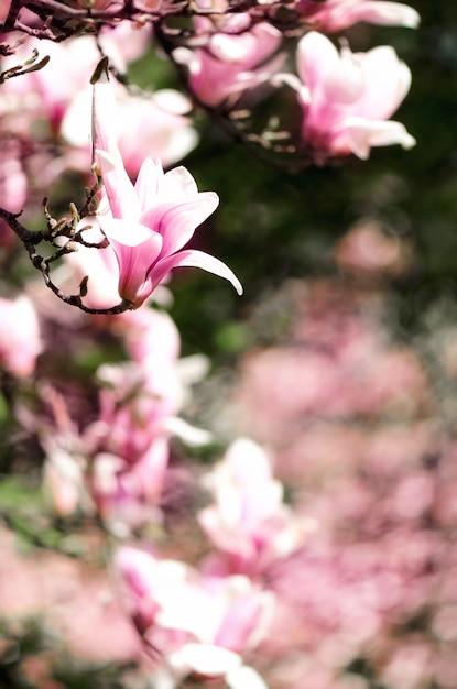 Arbre de magnolia en fleurs dans les rayons du soleil de printemps. mise au point sélective. espace de copie Photo Premium