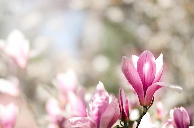 Arbre de magnolia en fleurs dans les rayons du soleil de printemps. mise au point sélective. Photo Premium