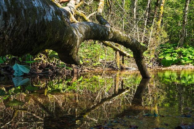Arbre mort allongé dans une piscine d'eau verte aux reflets Photo Premium