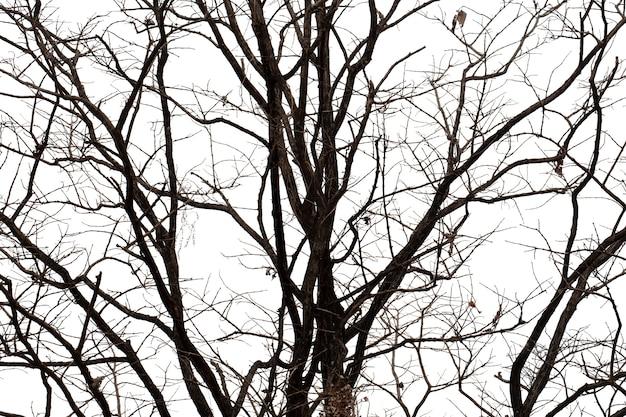 Arbre Mort Silhouette Ou Arbre Sec Sur Fond Blanc Avec Un Tracé De Détourage. Photo Premium