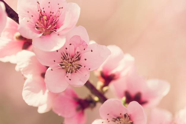 Arbre de printemps avec des fleurs roses Photo Premium
