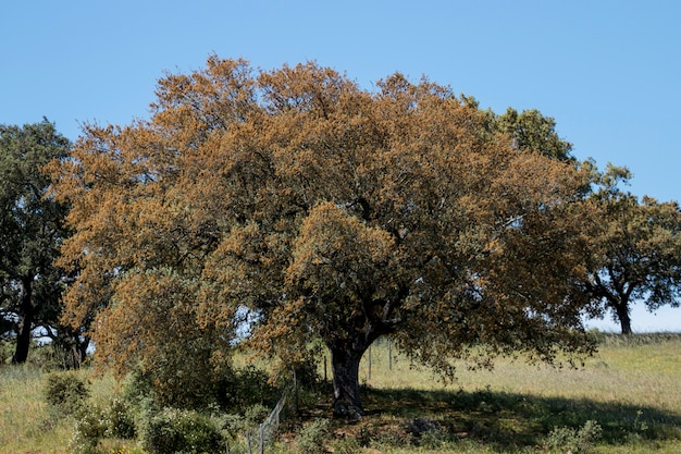Arbre quercus ilex Photo Premium