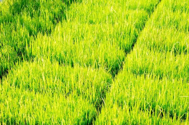 L'arbre de riz vert dans le champ et l'arrière-plan flou Photo Premium