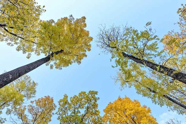foto de Arbres De L'automne Jaunes Sur Le Ciel Bleu, Vue De Bas En Haut ...
