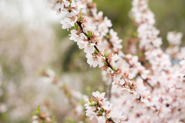 Arbres de fleur de cerisier, fond de temps de nature. fleurs sakura blanches roses Photo Premium