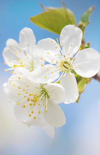 Arbres à fleurs de printemps. jardin fleuri. nature de la mise au point sélective Photo Premium