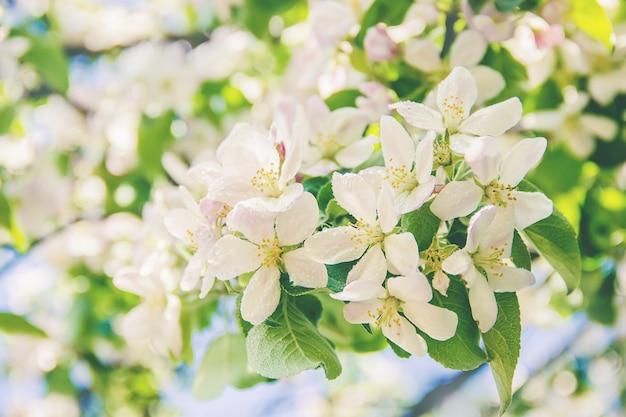 Arbres à fleurs de printemps Photo Premium