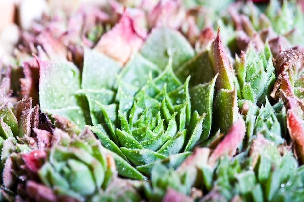 Arrangement des plantes succulentes avec des gouttes d'eau Photo Premium