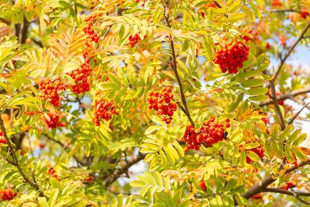 Ashberry contre le ciel Photo Premium