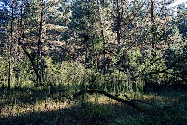 Atmosphère sombre dans la forêt de conifères sombre. Photo Premium