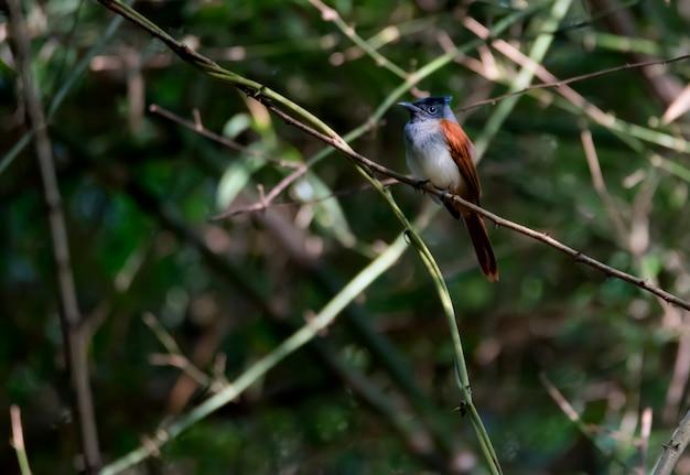 Attrape-mouche femelle au paradis indien perché dans la forêt, thaïlande Photo Premium