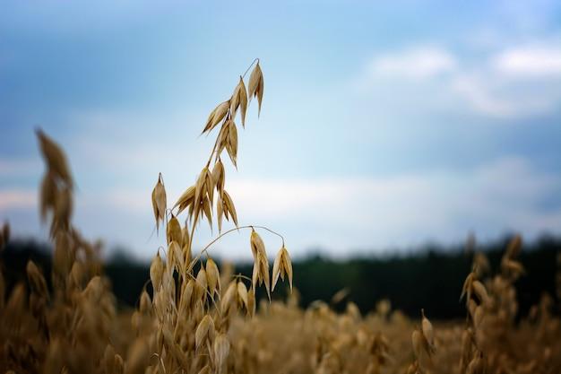 Avoine mûre dans le champ contre le ciel Photo Premium