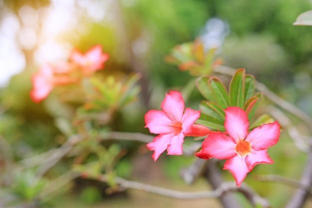 L'azalée Rose Fleurit Dans Le Jardin D'été Avec Des Rayons De Soleil. Photo Premium