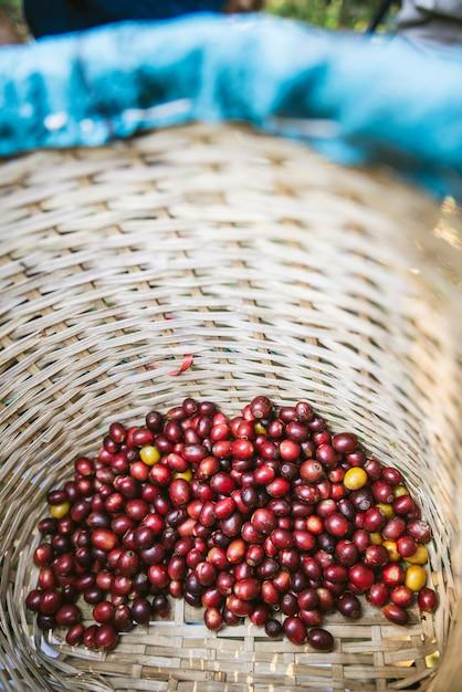Des baies de café arabica rouges mûres cueillies à la main dans le panier du village akha de maejantai sur la colline de chiang mai, en thaïlande. Photo Premium