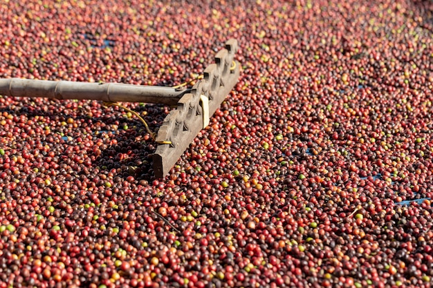 Baies de café rouge arabica fraîches et procédé de séchage Photo Premium