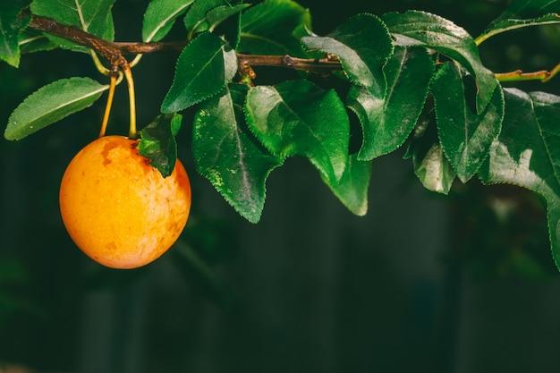 Baies mûres jaunes de prune sur la branche avec des feuilles vertes en gros plan jardin d'été Photo Premium