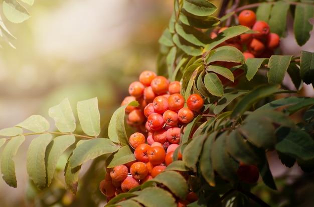 Baies de rowan rouge sur une branche. cendres de montagne mûres. automne fond saisonnier. Photo Premium