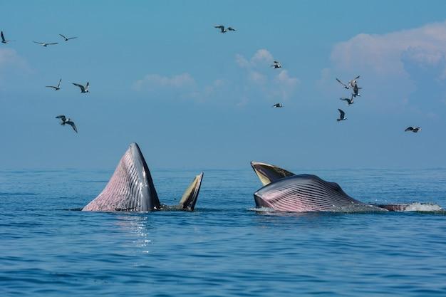 La baleine de bryde ou le complexe de baleines de bryde dans le golfe de thaïlande. Photo Premium