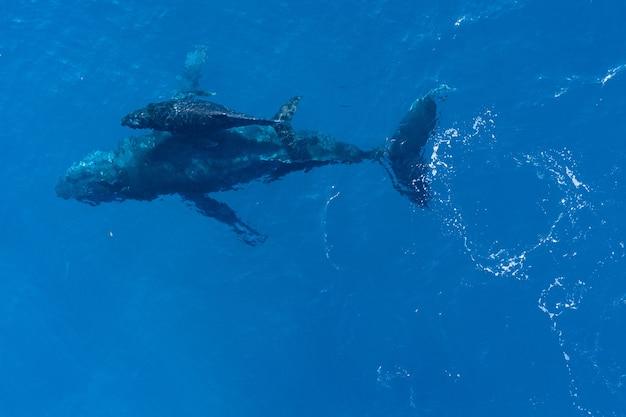 Baleines à Bosse Natation, Vue Aérienne Photo gratuit
