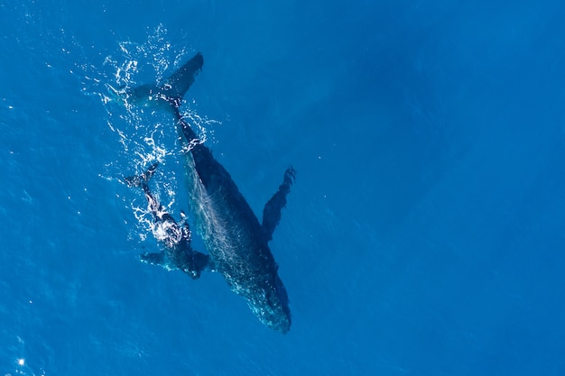 Les Baleines à Bosse Photographiées D'en Haut Avec Un Drone Aérien Au Large De Kapalua, Hawaii Photo gratuit