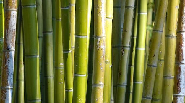 Bambouseraie, Fond Vert Naturel De La Forêt De Bambous Photo Premium