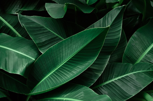 Hojas de color verde oscuro con textura de plátano tropical.  |  Foto premium