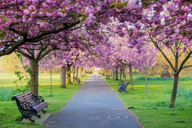 Des bancs sur un chemin avec de l'herbe verte et des fleurs de cerisier ou sakura. Photo Premium
