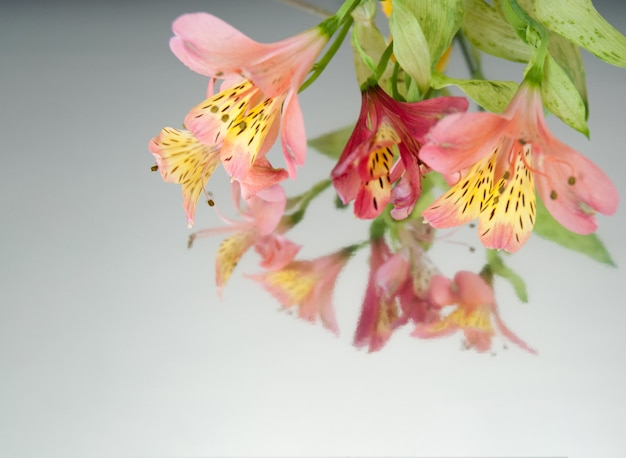 Bannière avec des fleurs d'alstroemeria sur un fond de miroir blanc. Photo Premium