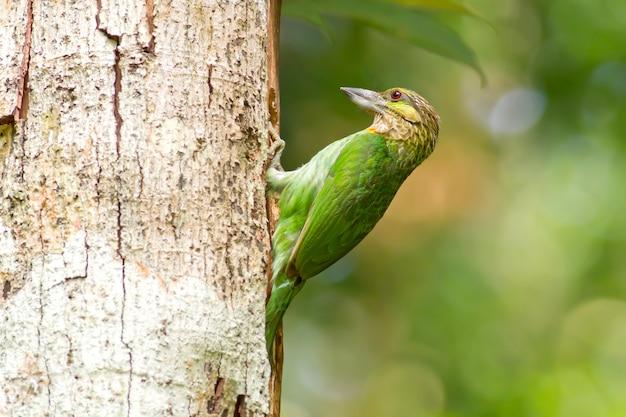 Barbet à Oreilles Vertes (megalaima Faiostricta), Oiseaux De Thaïlande Photo Premium