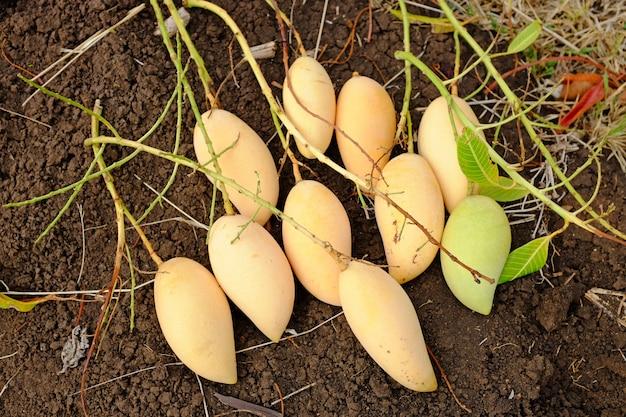 Barracuda mango place sur le sol. saison de récolte Photo Premium