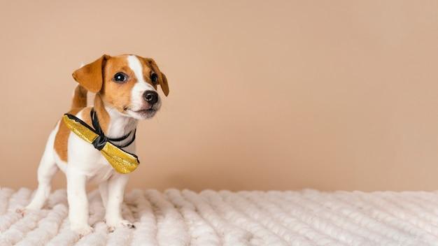 Beagle Mignon Portant Le Temps De L'arc Jaune Photo gratuit