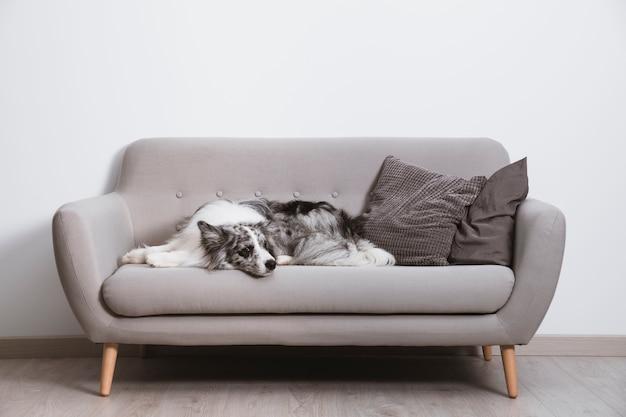 Beau border collie sur le canapé Photo gratuit